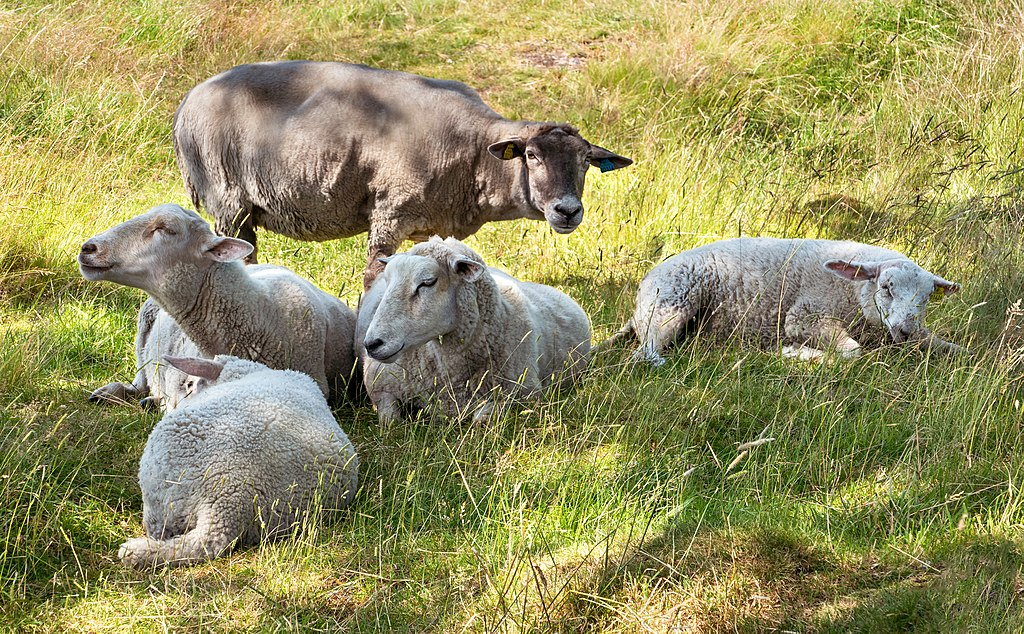 Rescued shipboard sheep get a good home